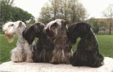 Four Cesky Terriers are sitting on a rock and looking to the left