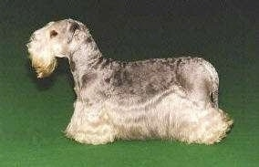 Left Profile - Cesky Terrier is standing on a green surface