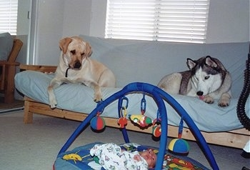 Kobe and Brady Dogs are laying on a wooden Couhc bed and looking down at a baby named Jake who is on the floor under a toy mobile mat