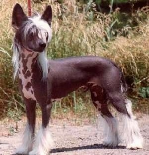 A Chinese Crested Hairless is standing on a dirt path with large grass behind it