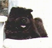 Chang the black Chow Chow is laying on a white chair outside. His mouth is open and its tongue is out