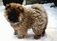 Khan the Chow Chow as a puppy is standing in and covered in snow. he is looking towards the camera