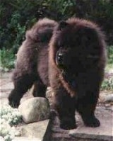 Chang the Chow Chow is standing outside on a stone surface