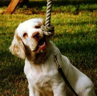 Maui the Clumber Spaniel is sitting outside and chewing on a rope hanging from a tree