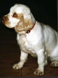 Maui the Clumber Spaniel is sitting on a hardwood floor and looking to the left
