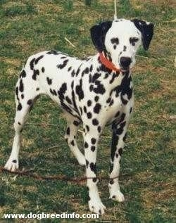 Molly the Dalmatian is wearing a red collar standing outside in a field.