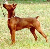 A brown German Pinscher is standing in a field and looking up and to the left