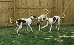 There are three Greyhounds standing in front of a wooden fence in a grassy yard playing with a ball