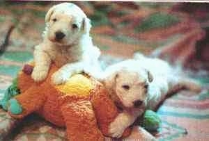 Two Komondor puppies are laying on top of and against a brown plush bear