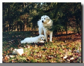 A white Kuvasz dog is standing under a tree and a Kuvasz puppy is laying next to the dog in grass.