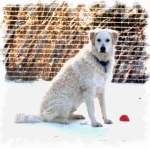 A white Kuvasz is sitting outside in snow with a red ball next to it and a fence behind it.