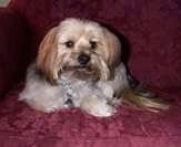 A tan and black with white Yorkie-Apso is laying next to the arm of a red couch.