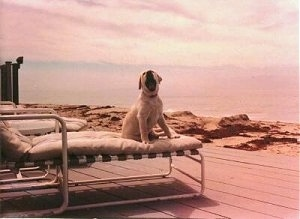A sepia toned image of a tan puppy sitting on a lawn chair near a beach activly barking. You can see the water in the distance behind the dog.