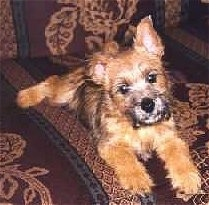 View from the front - A black and tan Norwich Terrier puppy is laying on a brown patterned couch with its head  tilted to the left.