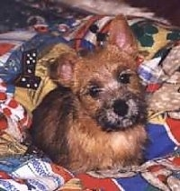 Front view - A black and tan Norwich Terrier puppy is laying on a bed, its head is tilted to the left and it is looking forward.