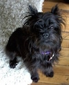 A black Affenpinscher is sitting on a rig and it is looking up.