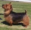Left Profile - A brown and black Australian Terrier is standing on grass and it is looking up and to the left.