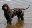 A wet chocolate Bosnian-Herzegovinian Sheepdog Irish Water Spaniel is standing in a body of water and it is looking forward.
