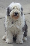 A white and grey Old English Sheepdog is sitting on a concrete surface.
