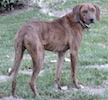 The side of a Plott Hound that is standing in grass and he is looking forward.