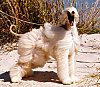 A tan Afghan Hound is standing on a rock and its hair is being blown around. It is looking forward and its mouth is open.