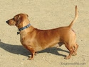 A tan Dachshund is standing on a dirt surface and it is looking to the left.