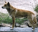 Left Profile - A tan with black and white Dingo is standing on a small wall and it is looking to the left.