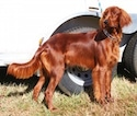 A red Irish Setter is standing in grass and behind it is a vehicle. The setter is looking to the left.