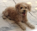 A tan Toy Poodle is laying out on a tiled floor and it is looking forward. Its mouth is open and tongue is out.