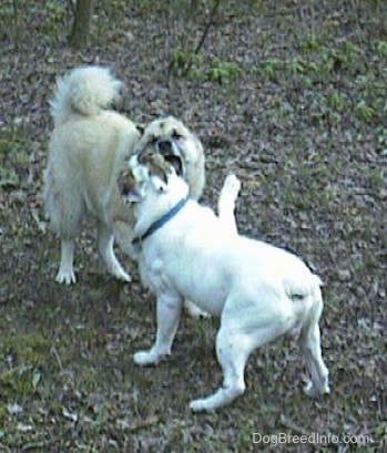 Spike the Bulldog and a tan with white Shepherd Husky are playing in a heavily leaved area. The bulldog has his paw in the air.