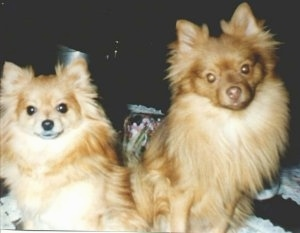 Close up - Two Pomeranians are sitting back to back and they are looking forward.