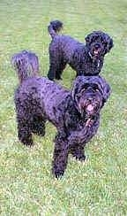 Two shiny black Portuguese Water Dogs are standing across a grass surface. Both of there mouths are open and they are both looking forward.