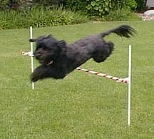 Action shot - A black Portuguese Water Dog is in the middle of jumping over an agility obstacle.