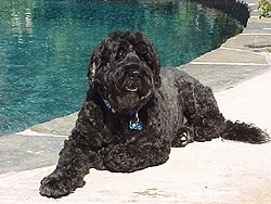 Front side view - A black Portuguese Water Dog is laying at the side of a pool. It is looking forward and its mouth is open.