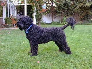 Left Profile - A black Portuguese Water Dog is standing in a lawn and it is looking to the left. Its coat is shaved and it has longer hair at the tip of its long tail.