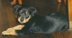The back left side of a black and tan Rottweiler puppy laying across a hardwood floor looking forward.