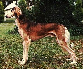 Left Profile - A brown with tan Saluki is standing across grass and it is looking to the left. The dog is tall with a high arch.