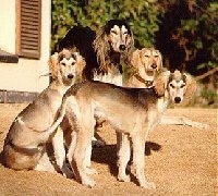 A pack of four Salukis are sitting and standing in dirt and they are all looking forward.