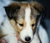 Close up - A young brown with white and black Shetland Sheepdog puppy is being held in a persons hand and it is looking down.
