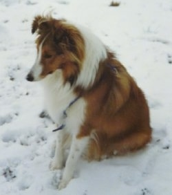 The left side of a brown and white Shetland Sheepdog that is sitting in snow, it is looking down and to the left. It looks like a Collie.