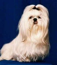 A long-coated, tan Shih-Tzu is sitting on a blue backdrop and it has a bow in its top knot. The dog's bottom teeth are showing from an underbite
