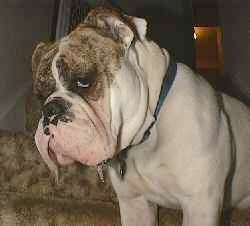 Close up - The front right side of Spike the Bulldog he is standing on a carpet and he has drool hanging out of his mouth.
