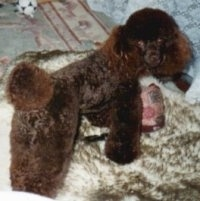 The back right side of a brown Toy Poodle that is standing on a rug and it is looking forward. It has fluffy pom pom hair on its tail.