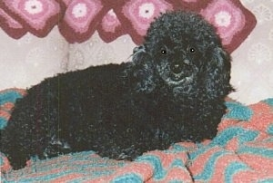 The right side of a black Toy Poodle that is laying across a blanket and it is looking forward.