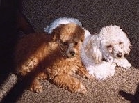 Top down view of Two Toy Poodles that are laying across a carpeted surface and they are looking to the right. One dog is reddish tan and the other dog is white.