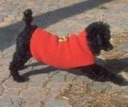 The right side of a black Toy Poodle that is standing across a brick surface and it is wearing a red shirt.