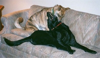 A tiger colored Boxer/Akita mix is biting the side of a black Labrador that is trying to bite the Boxer/Akita behind it on top of a tan couch.
