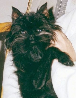 The right side of a black Affenpinscher that is being held by a person