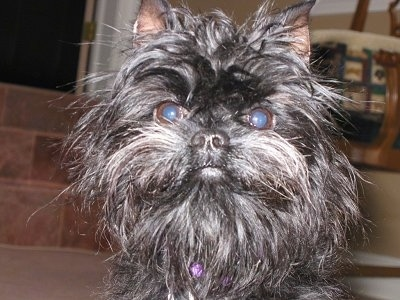 Close up - A black Affenpinscher is looking forward and it is sitting on a carpet.