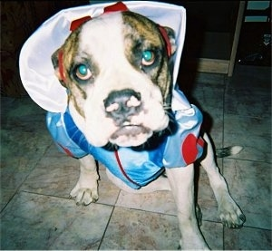 Keena the American Bulldog is sitting on a tiled floor and dressed as Snow White